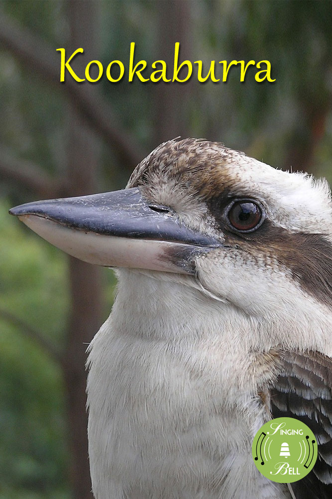 Kookaburra-Singing-Bell