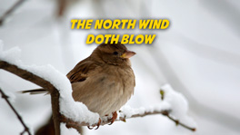 The North Wind Doth Blow (The Robin)