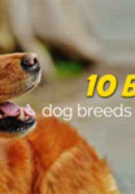 Domestic Cuteness Overdose | 10 Best Dog Breeds for Kids
